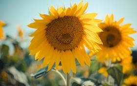 Картинка желтые, подсолнухи, лепестки, цветы