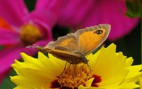 Обои цветок, цветы, желтый, бабочка, космея