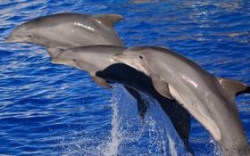 Картинка млекопитающее, вода, дельфины, море
