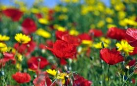 Картинка маки, желтые, поле, ромашки, красные, солнечно, цветы