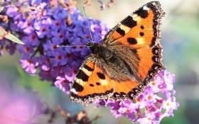 Обои цветок, крапивница, буддлея, макро, бабочка