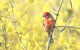 Обои природа, птица, House Finch