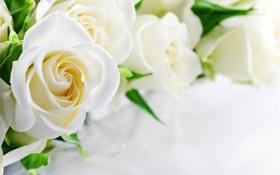 Обои розы, white, белые, flowers, roses