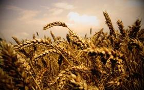Обои колосья, фото, природа, поле, пшеница, макро