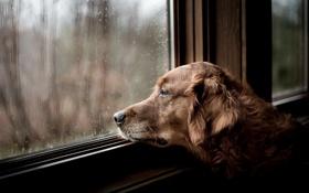 Обои грусть, взгляд, дом, друг, собака, окно, ожидание