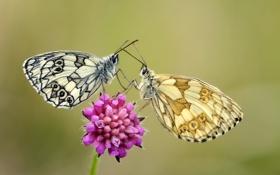 Обои цветок, бабочки, крылья, стебель, усики, flower, wings