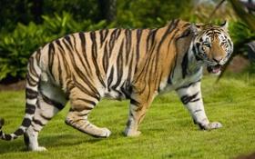 Обои природа, тигр, прогулка, кошка