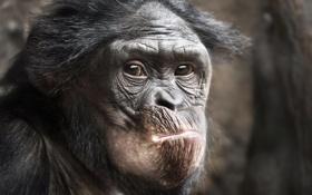 Обои animal, ape, primat