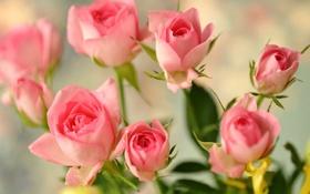 Картинка бутоны, розы, розовые, цветы