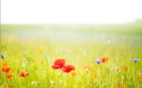 Картинка поле, небо, трава, цветы, маки, луг
