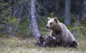 Обои лес, природа, медведи