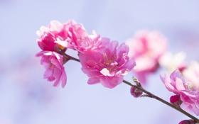 Обои цветение, весна, розовые цветы, ветка, цветки