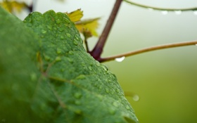 Обои капли, макро, лист, Wine
