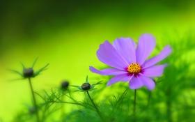 Картинка сад, луг, лепестки, космея