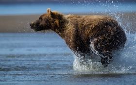 Картинка вода, капли, брызги, медведь, мишка