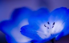 Обои цветок, макро, синий, голубой