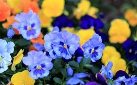 Картинка цветы, лепестки, голубые, анютины глазки, виола