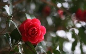 Обои цветок, листья, роза, красная