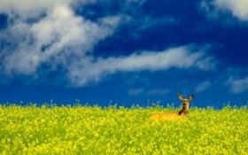 Картинка поле, небо, олень, рапс