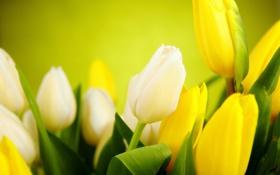 Обои листья, цветы, желтые, тюльпаны, белые, бутоны