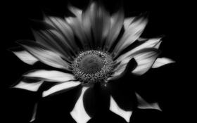 Обои растение, цветок, лепестки, черно-белое, фото