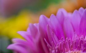 Обои лепестки, цветок, розовая, гербера