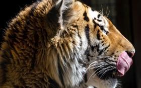 Обои язык, морда, тигр, темный фон, хищник, профиль, дикая кошка