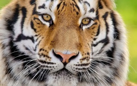 Обои взгляд, морда, тигр