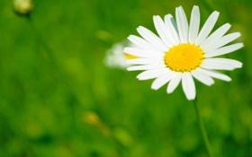 Обои поле, белый, цветок, жёлтый, лепестки, ромашка, зелёный