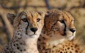 Картинка кошки, взгляд, морда, гепарды, пара