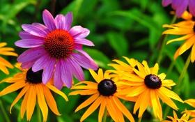 Обои природа, растение, лепестки, сад, луг, эхинацея