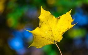 Обои осень, жёлтый, яркий, лист, макро, цвет