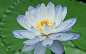Обои цветок, лилия, лепестки, голубая, водяная