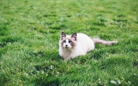 Обои поле, трава, кот, голубые глаза, ленивый