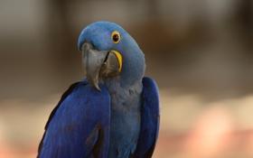 Обои синий, птица, попугай, ара