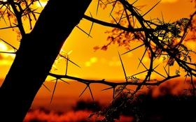 Обои небо, ветки, дерево, колючки, силуэт, зарево
