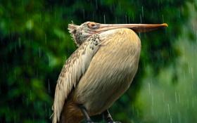 Обои дождь, птица, клюв, пеликан