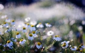 Картинка поле, лето, цветы, природа, ромашки