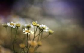 Картинка макро, цветы, ромашки