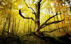 Обои осень, лес, природа, дерево, старое, сухое
