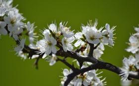 Картинка цветение, весна, ветка, яблоня, цветки