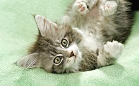 Обои кошка, глаза, кот, усы, маленький, мордочка, котёнок