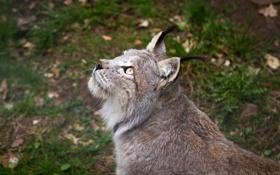 Картинка кошка, взгляд, профиль, рысь