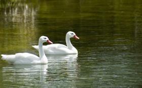 Картинка вода, озеро, пара, лебеди, плывут