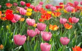 Обои лепестки, colorful, тюльпаны, разноцветные, цветение, много, flowers