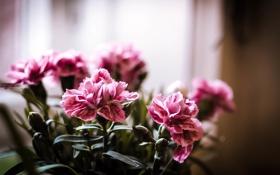 Обои макро, цветы, розовый, букет, весна, горшок, цветение