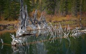 Обои лес, вода, природа, озеро, гладь, дерево, сухое