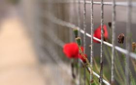 Картинка цветы, природа, забор, маки