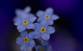 Обои макро, цветы, цвет, красота, голубые, синие, незабудки