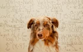 Обои фон, собака, очки